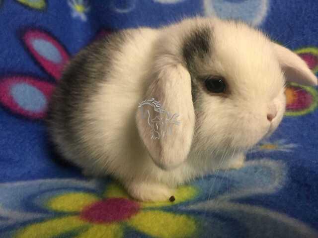 Conejos belier enanos - 4/7