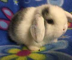 Conejos belier enanos - Imagen 4/7