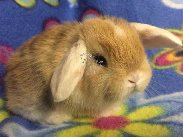 Conejos belier enanos - 5/7