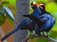 Turaco violaceo