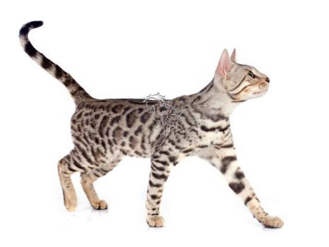 Bengala (gato) - 1/1